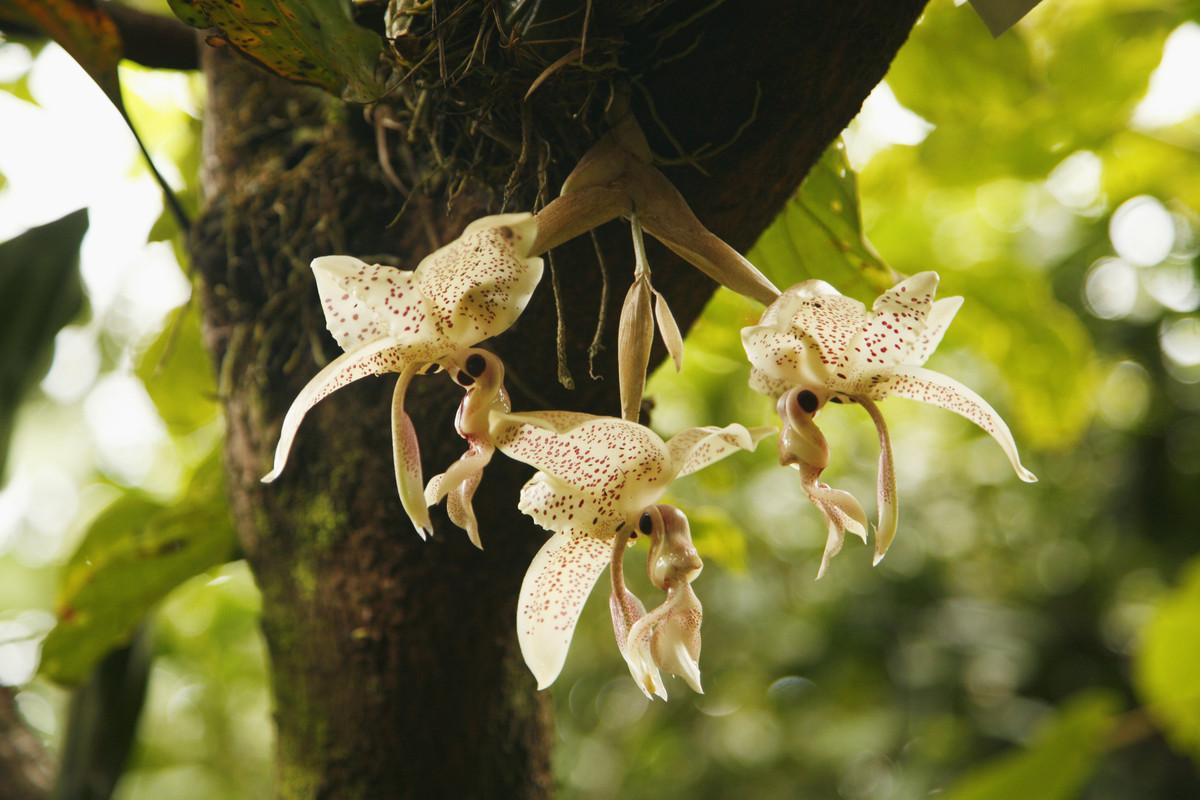 زهور الفانيليا