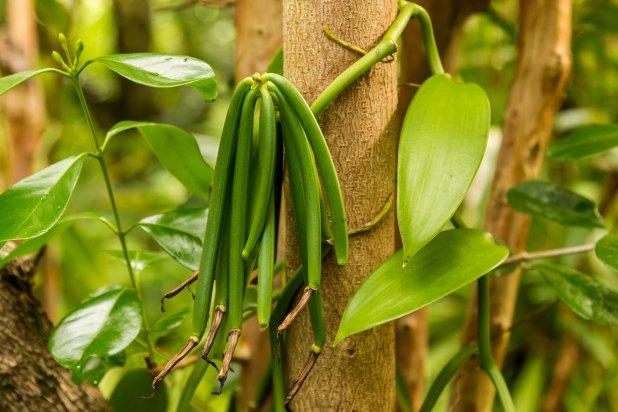 ثمار نبتة الفانيليا على شكل قرون خضراء تشبه الفاصولياء